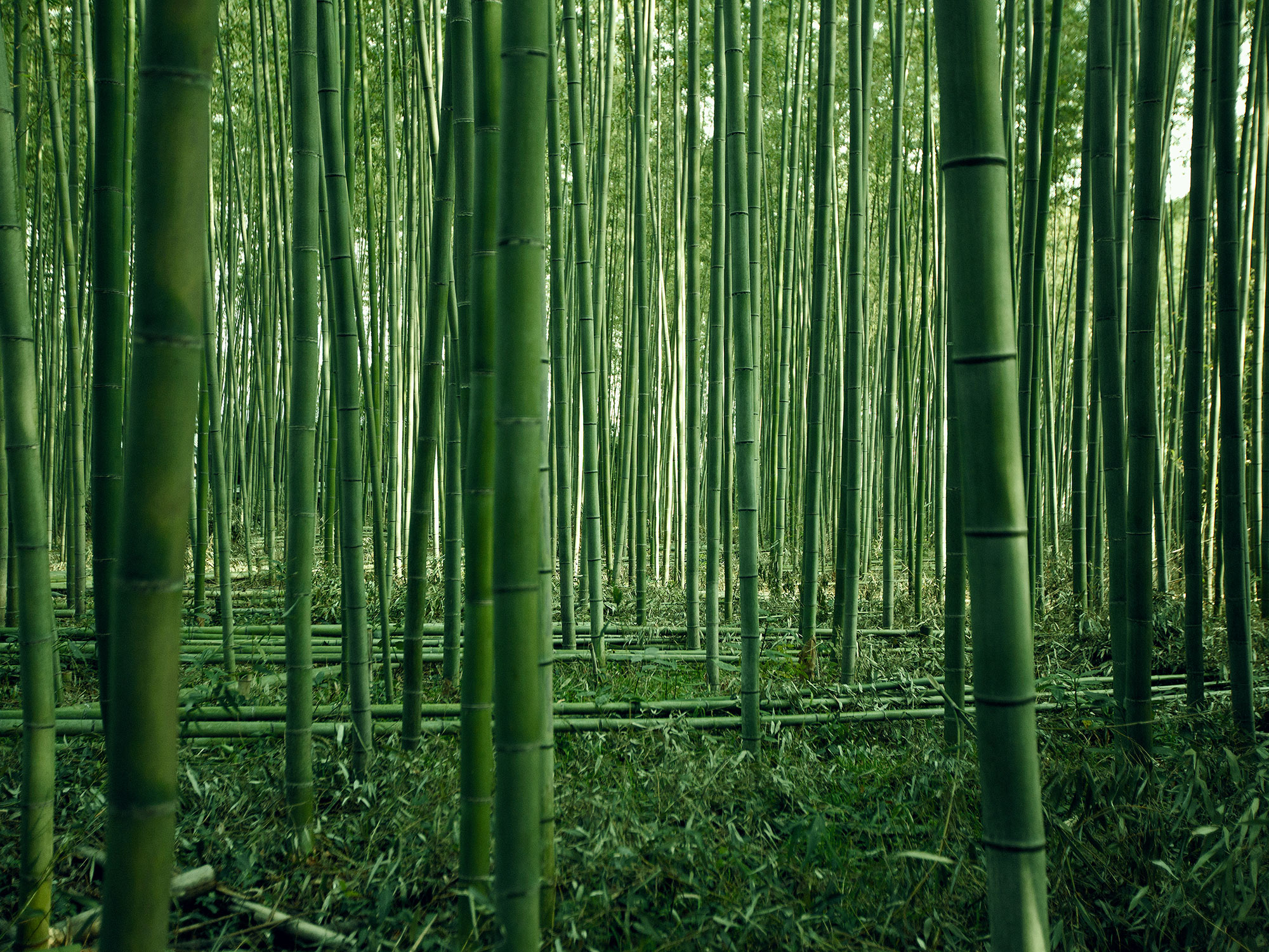 Green bamboo forest in Kyoto, Japan, photographed by Houston editorial and commercial photographer, Todd Spoth.