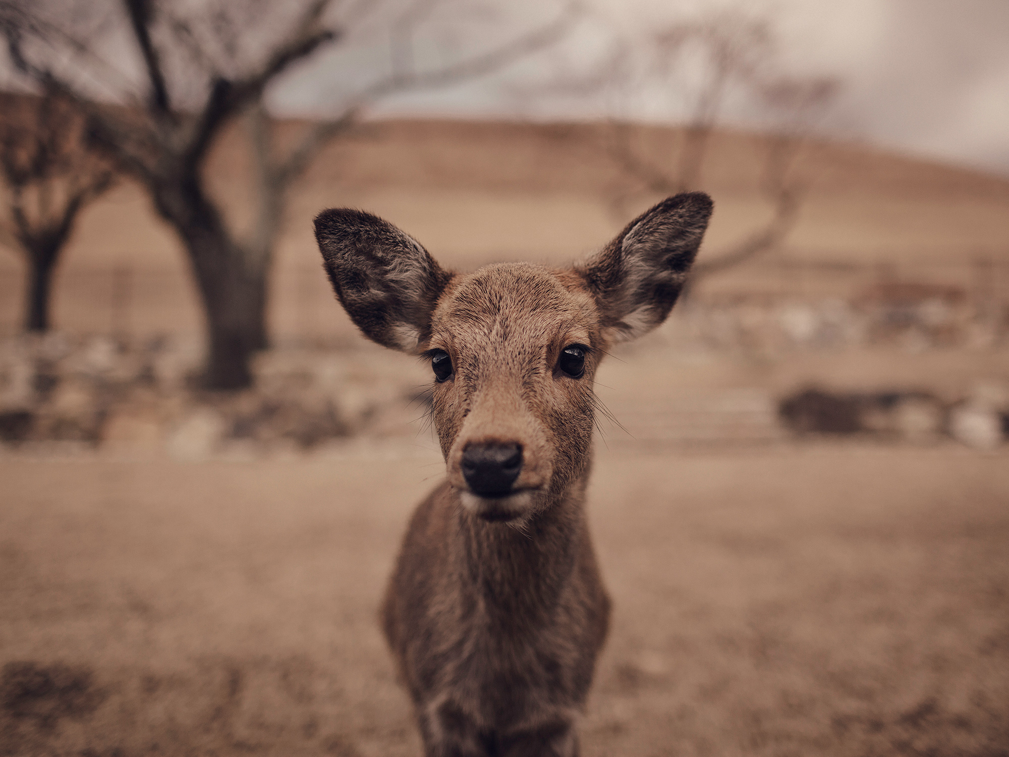The sacred deer of Nara, Japan, photographed by Houston editorial and commercial photographer, Todd Spoth.